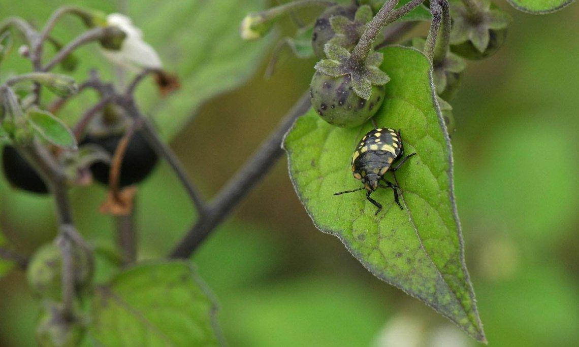 Kertjeinkben több poloska faj károsíthat