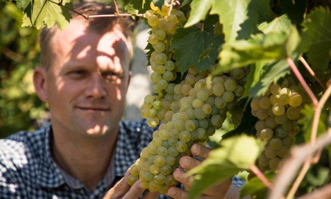 Illatos szőlőtőkék közötti gondolatok, az édes szőlőfürtök zamatos titkairól.