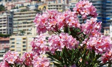 A csodaszép leander virágpompában
