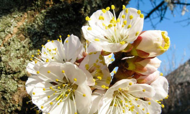 Virágzó sárgabarackfa