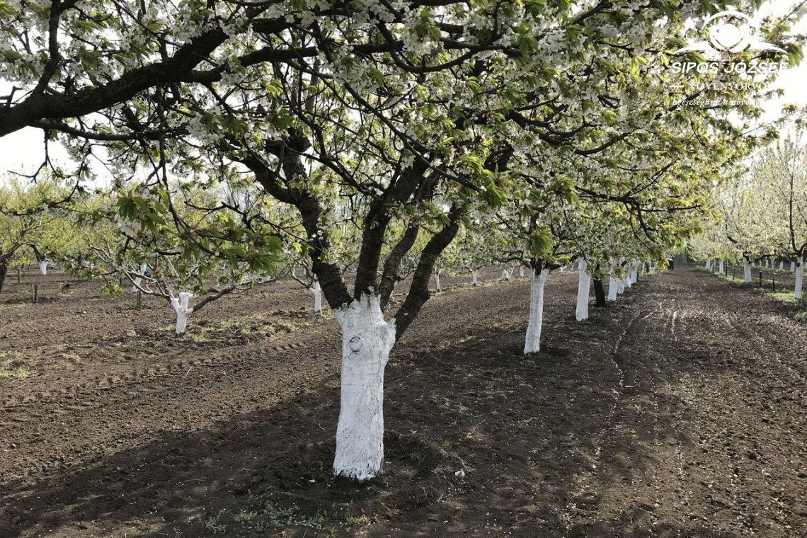 """A tavaszi """"köd"""", mely gyümölcsfáink titokzatos betegsége"""