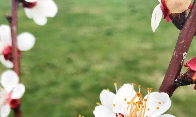 Tavaszi fagykár a virágzó gyümölcsfán