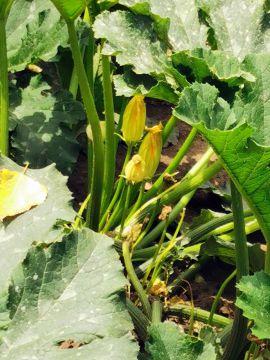 Cukkini: a zöldség, ami gyümölcs