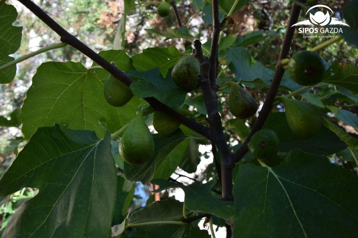Ősmagyar gyümölcsünk, a füge…