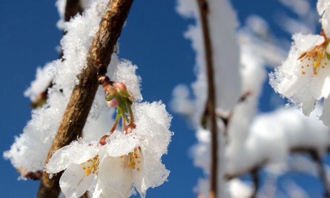 Kora tavaszi fagy elleni védekezés