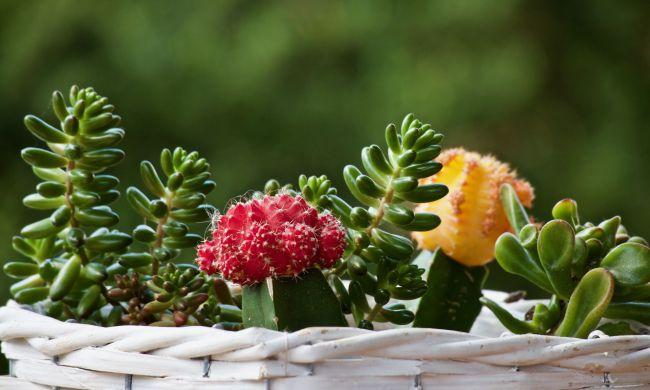 Szúrós barátaink, a kaktuszok…